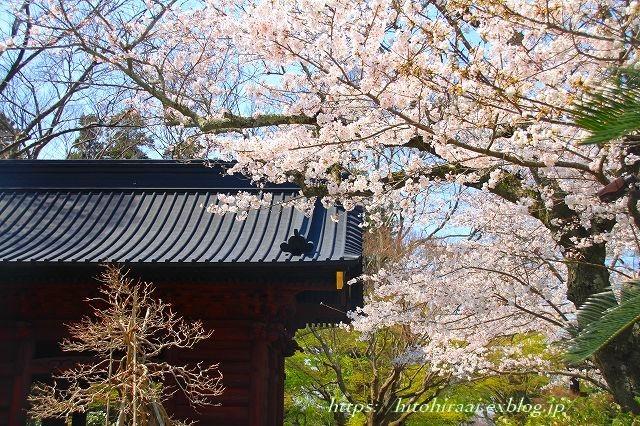 圧倒的桜。平成FINAL 古都の桜と富士の桜_f0374092_16364130.jpg