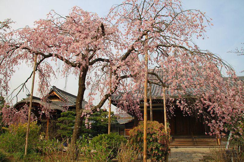 圧倒的桜。平成FINAL 古都の桜と富士の桜_f0374092_16463192.jpg