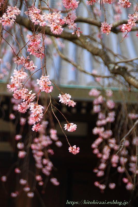 圧倒的桜。平成FINAL 古都の桜と富士の桜_f0374092_16473220.jpg