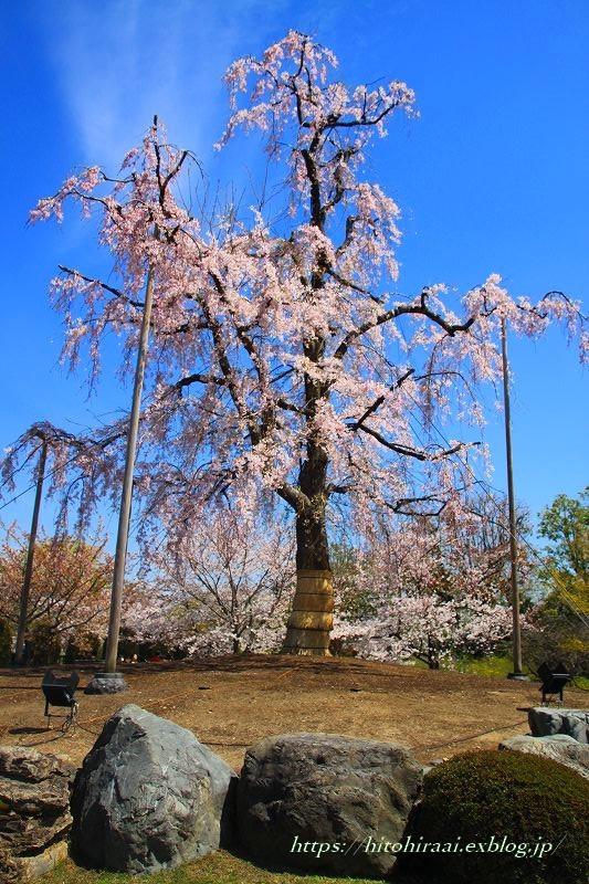 圧倒的桜。平成FINAL 古都の桜と富士の桜_f0374092_16495175.jpg