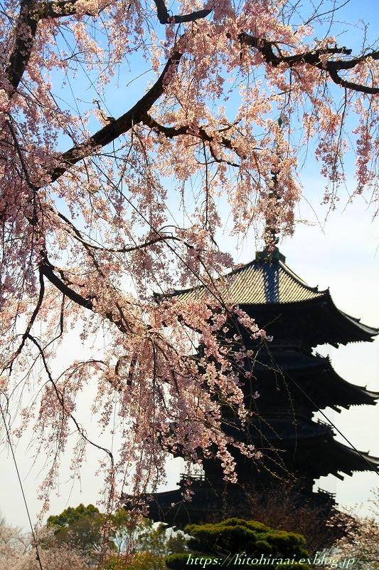圧倒的桜。平成FINAL 古都の桜と富士の桜_f0374092_16504235.jpg
