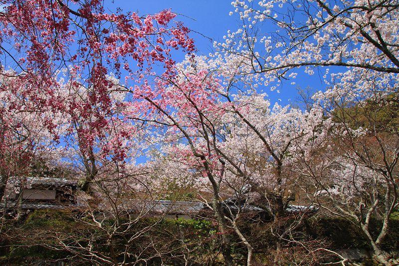 圧倒的桜。平成FINAL 古都の桜と富士の桜_f0374092_17020458.jpg