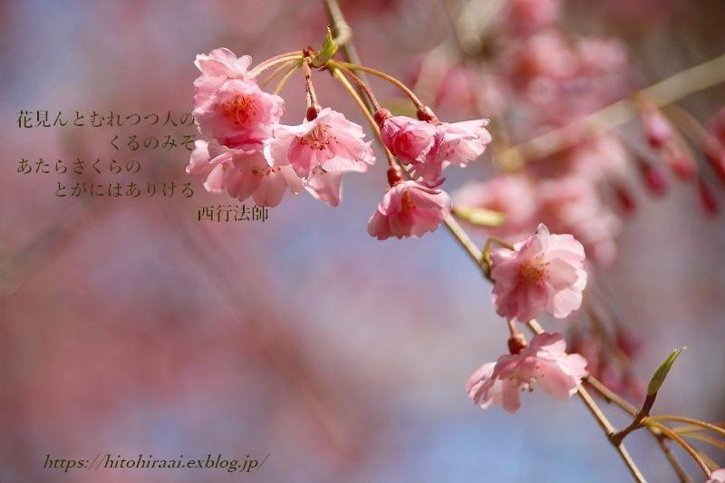 圧倒的桜。平成FINAL 古都の桜と富士の桜_f0374092_17052570.jpg
