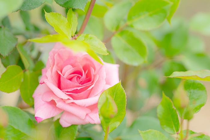 令和元年お祝いムードいっぱいの日比谷花壇大船フラワーセンター_b0145398_23023466.jpg