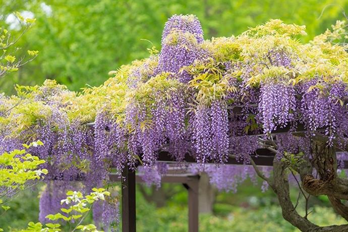 令和元年お祝いムードいっぱいの日比谷花壇大船フラワーセンター_b0145398_23042407.jpg