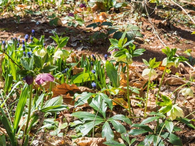 G.W.後半、晴天が続きます。クリスマスローズが次々開花!_f0276498_22131108.jpg