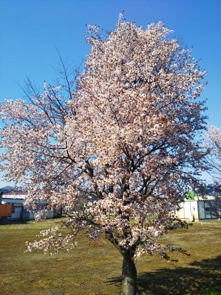 桜とエゾエンゴサク、木蓮?こぶし?_f0316507_15202401.jpg