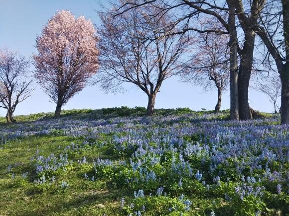 桜とエゾエンゴサク、木蓮?こぶし?_f0316507_21015601.jpg