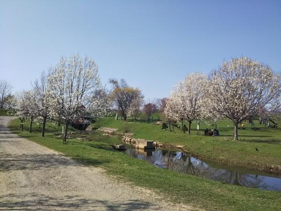 桜とエゾエンゴサク、木蓮?こぶし?_f0316507_21024263.jpg