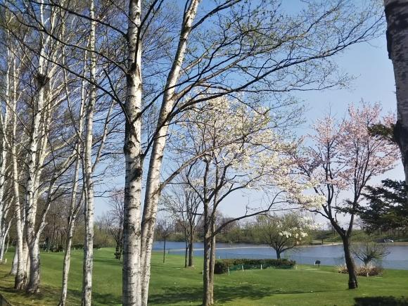 桜とエゾエンゴサク、木蓮?こぶし?_f0316507_21105958.jpg