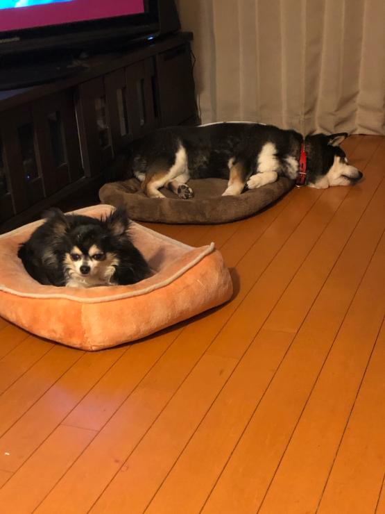 我が家の犬は枕が必要(笑)!?_b0317723_19003099.jpg