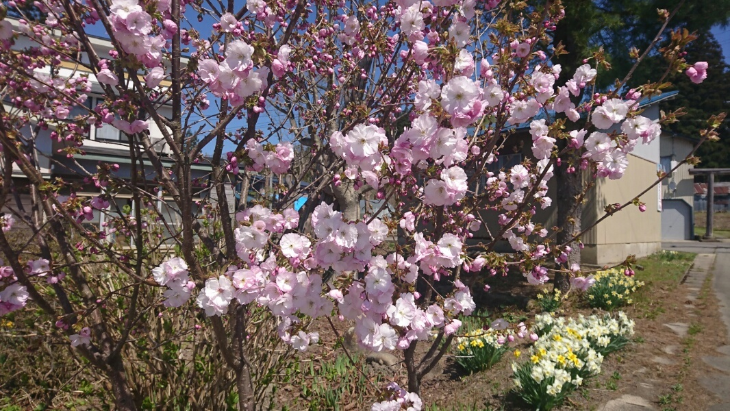 八重桜_f0081443_11321060.jpg