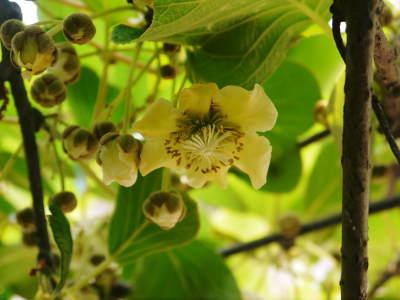 水源キウイ 2019開花宣言!今年は雄花と雌花がほぼ同時に!!今年も完全無農薬・無化学肥料で育てます!!_a0254656_18105895.jpg