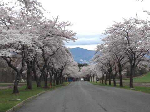 GW、桜満開、まだまだ見頃!_b0092858_10075018.jpg
