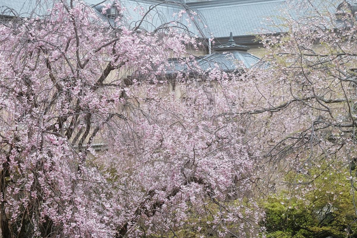 桜 2019_f0021869_21461216.jpg
