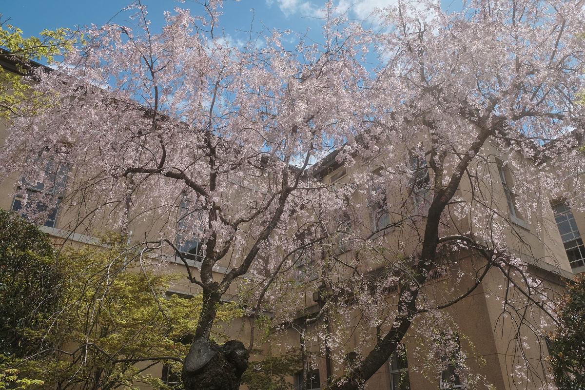 桜 2019_f0021869_21461262.jpg