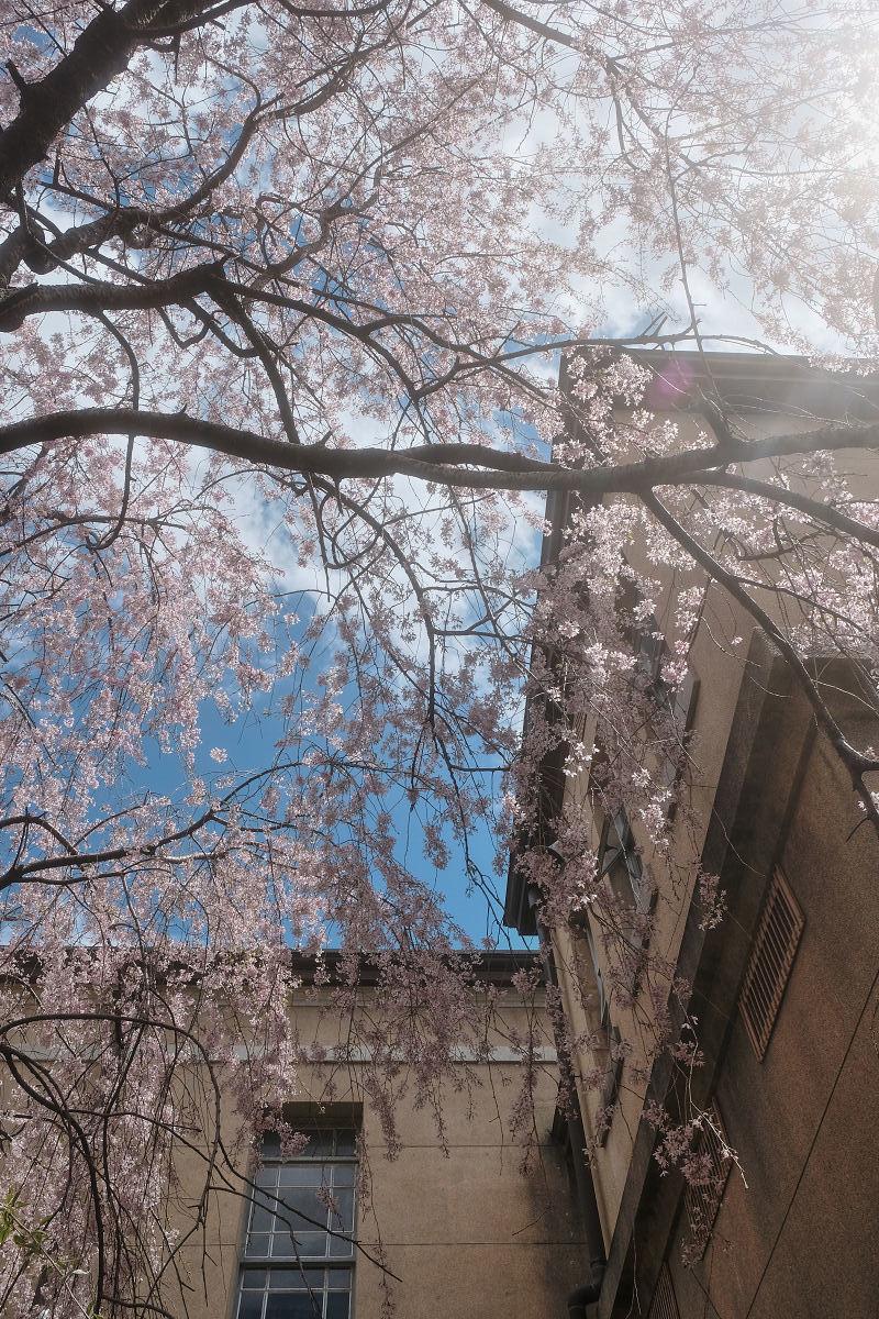 桜 2019_f0021869_21461270.jpg