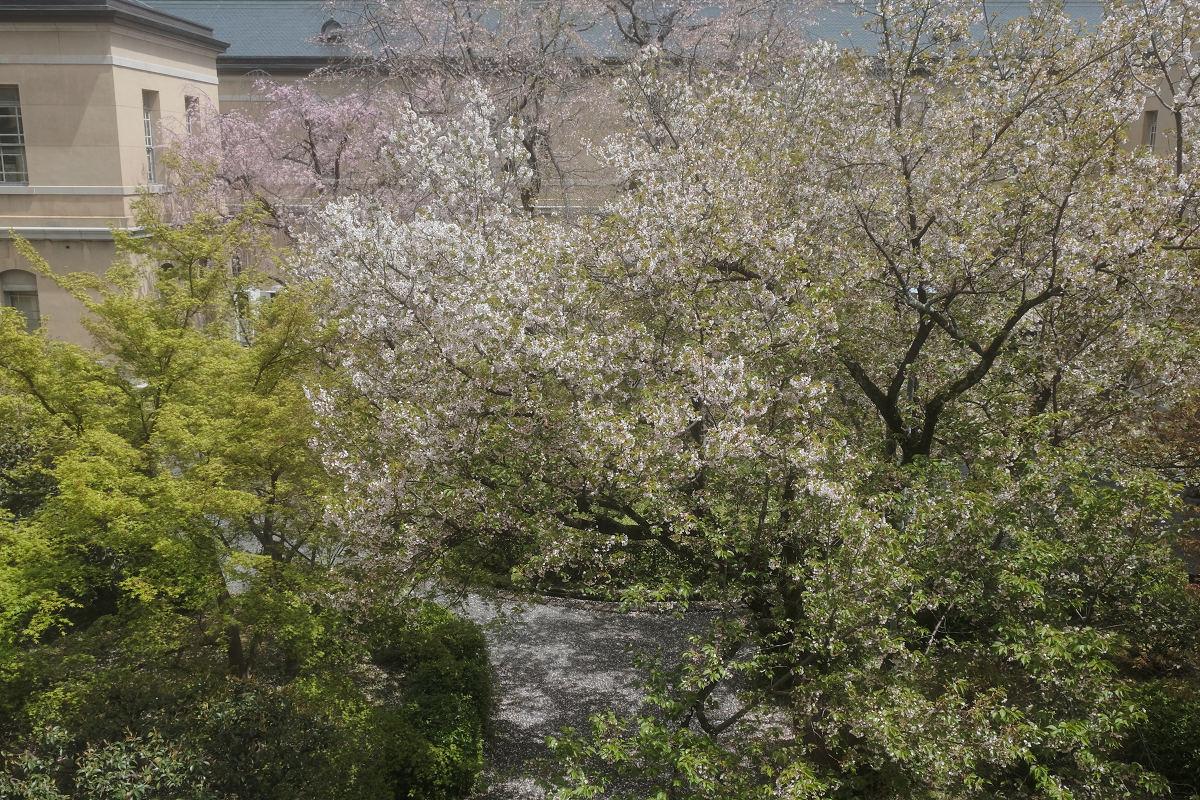 桜 2019_f0021869_21461319.jpg