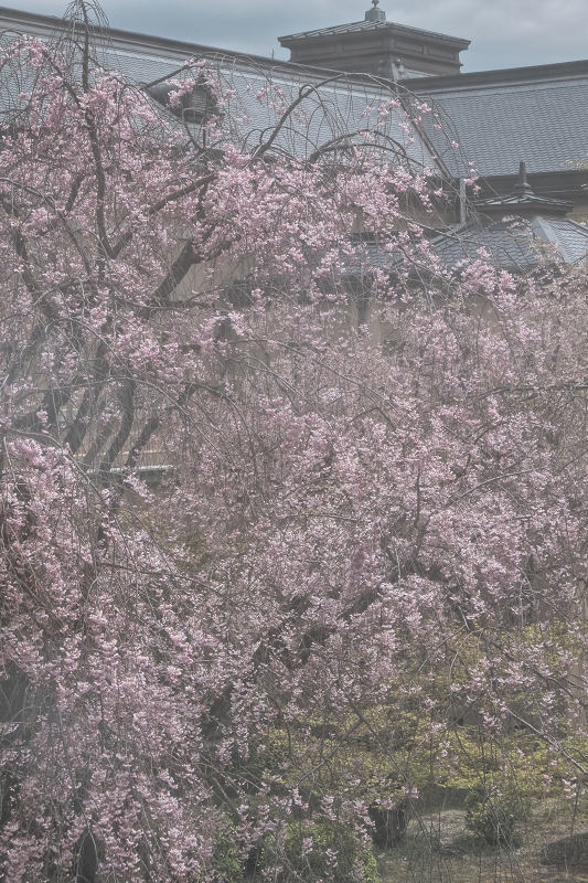 桜 2019_f0021869_21461348.jpg