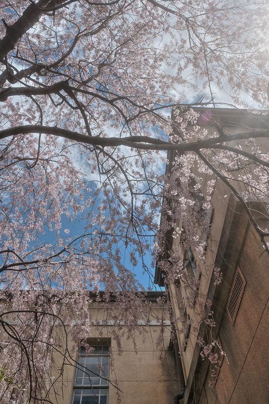桜 2019_f0021869_21461443.jpg