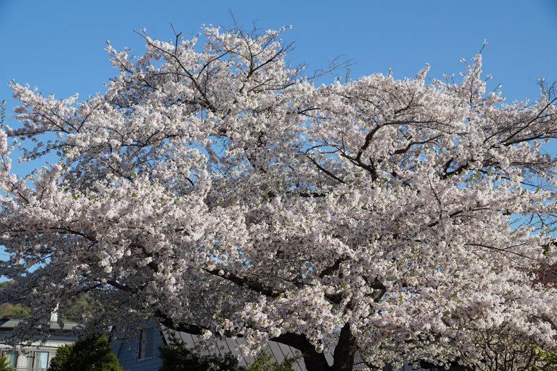 桜_d0162994_08275961.jpg