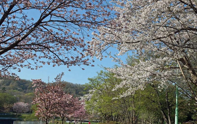 桜_d0162994_08282220.jpg