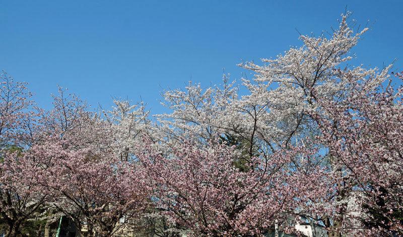 桜_d0162994_08284089.jpg