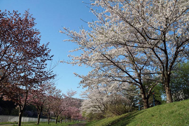 桜_d0162994_08290669.jpg