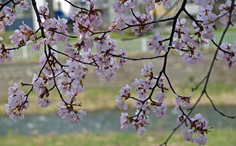 桜_d0162994_08301145.jpg
