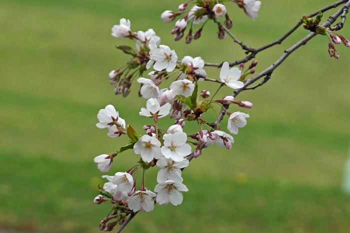 桜_d0162994_08304019.jpg