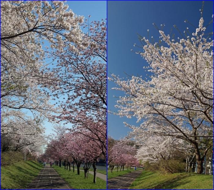 桜_d0162994_08305241.jpg
