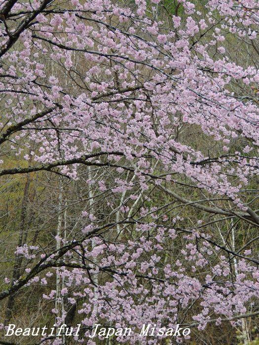 豊根村の桜咲く咲く~♪・゚☆、・:`☆・・゚・゚☆。。_c0067206_08152557.jpg