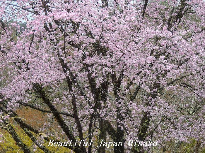 豊根村の桜咲く咲く~♪・゚☆、・:`☆・・゚・゚☆。。_c0067206_08152802.jpg