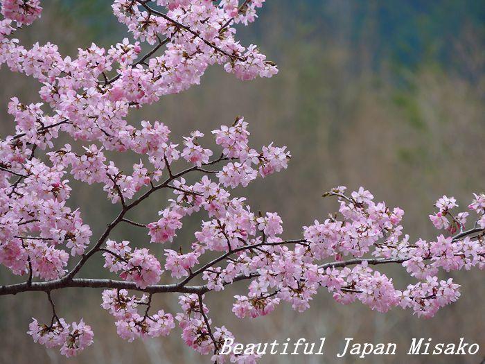 豊根村の桜咲く咲く~♪・゚☆、・:`☆・・゚・゚☆。。_c0067206_08153119.jpg