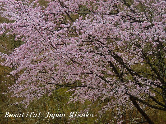 豊根村の桜咲く咲く~♪・゚☆、・:`☆・・゚・゚☆。。_c0067206_08155054.jpg
