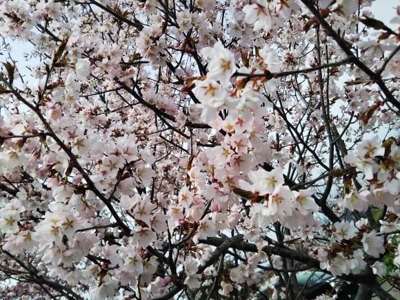 桜と庭花と、でんでん。。。_f0316507_18591778.jpg