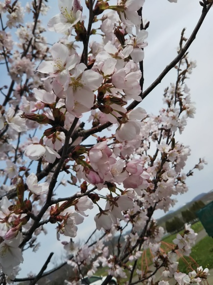 桜と庭花と、でんでん。。。_f0316507_18592913.jpg