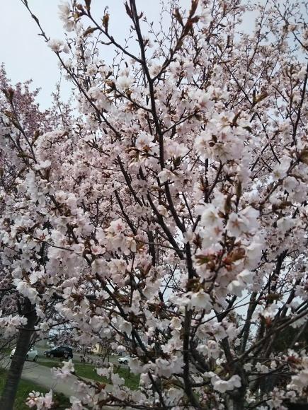 桜と庭花と、でんでん。。。_f0316507_18594544.jpg