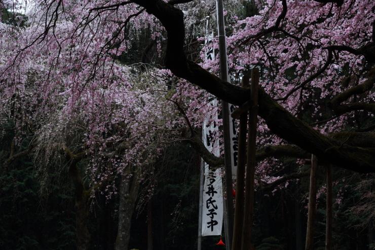 龍の晴れ舞台 ~某所・龍の桜~_d0349418_21300367.jpg