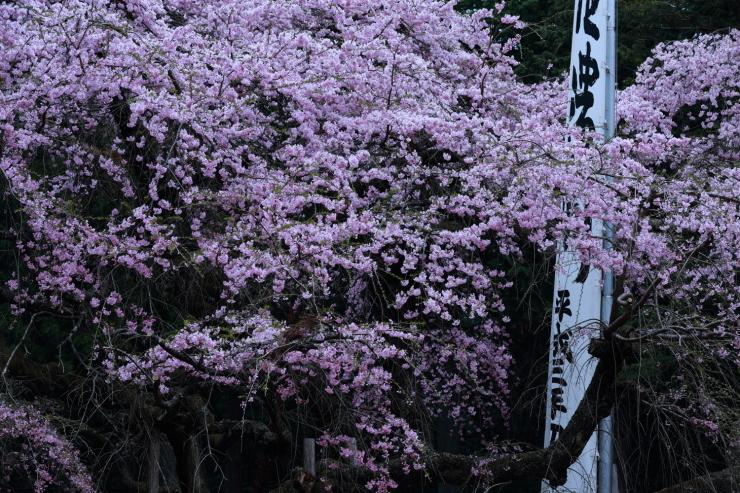 龍の晴れ舞台 ~某所・龍の桜~_d0349418_21301509.jpg