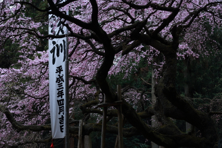 龍の晴れ舞台 ~某所・龍の桜~_d0349418_21302475.jpg