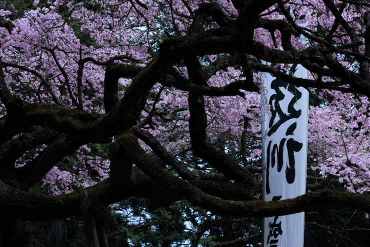 龍の晴れ舞台 ~某所・龍の桜~_d0349418_21344041.jpg