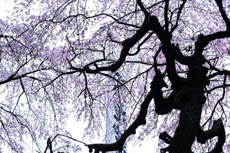 龍の晴れ舞台 ~某所・龍の桜~_d0349418_21350043.jpg
