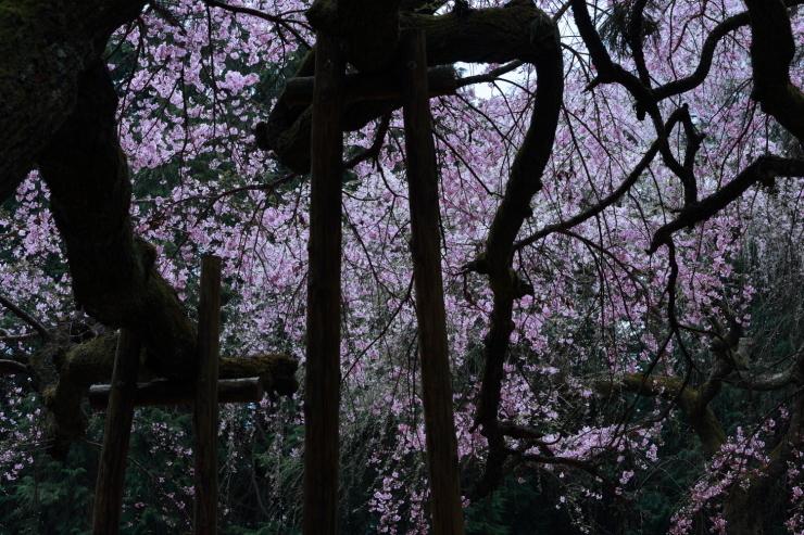 龍の晴れ舞台 ~某所・龍の桜~_d0349418_21350899.jpg