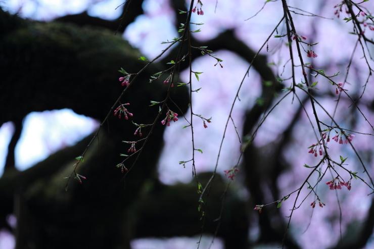 龍の晴れ舞台 ~某所・龍の桜~_d0349418_21351584.jpg