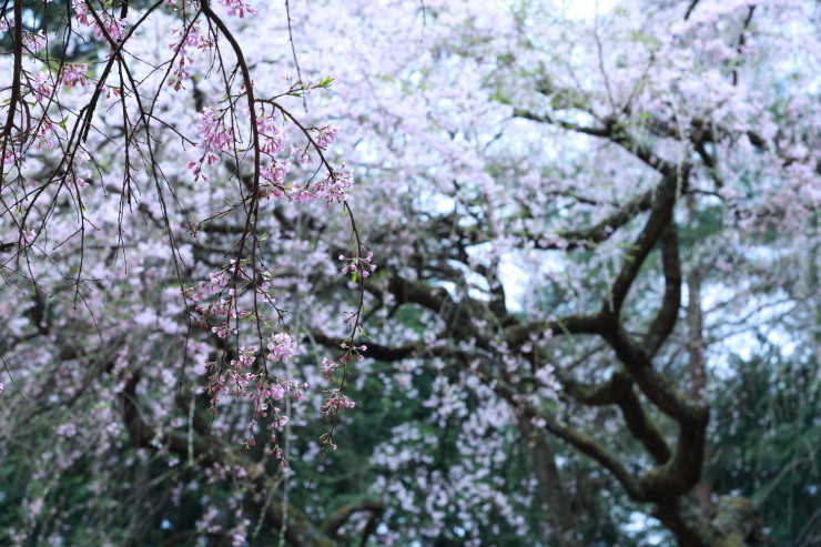 龍の晴れ舞台 ~某所・龍の桜~_d0349418_21352207.jpg