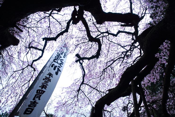 龍の晴れ舞台 ~某所・龍の桜~_d0349418_21355173.jpg