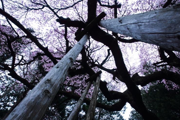 龍の晴れ舞台 ~某所・龍の桜~_d0349418_21355929.jpg