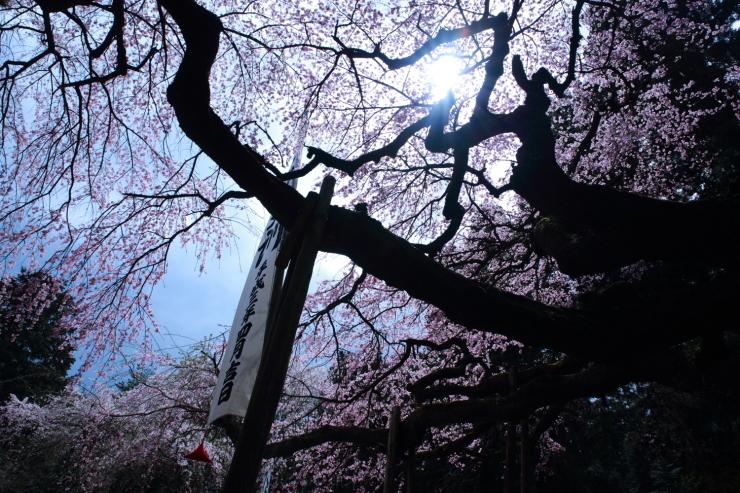 龍の晴れ舞台 ~某所・龍の桜~_d0349418_21362067.jpg