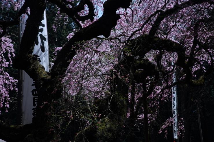 龍の晴れ舞台 ~某所・龍の桜~_d0349418_21384744.jpg
